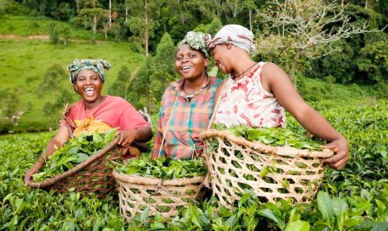 Tea Farmers in Uganda